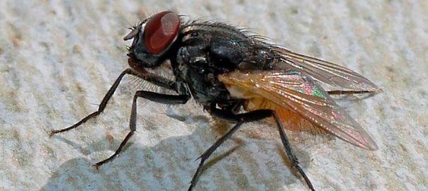 plagas-moscas